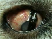 Chemical Ablation Dog Eye